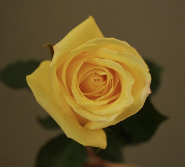 Роза Mohana