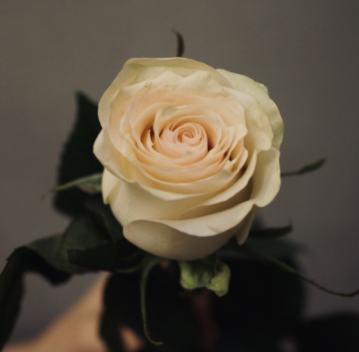 Роза Marzipan