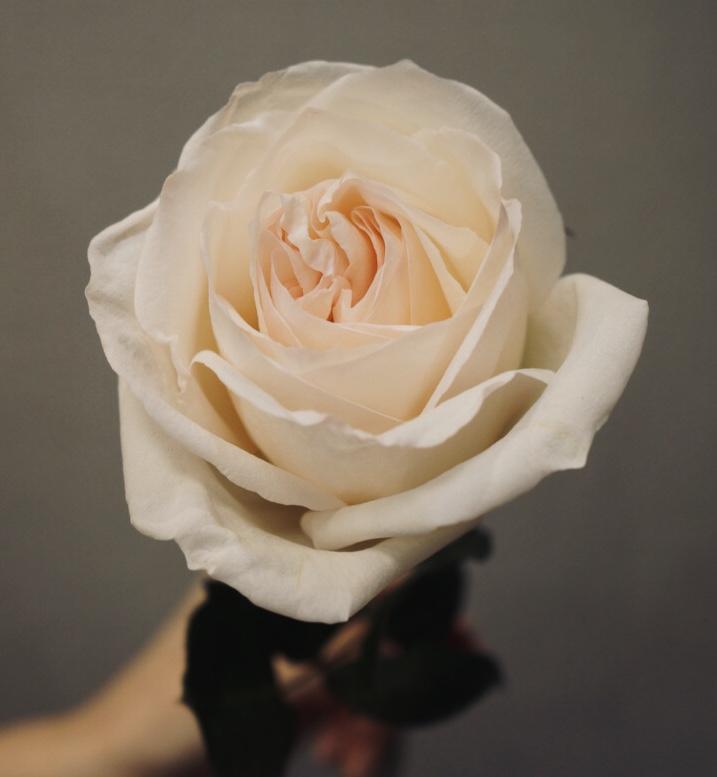 Роза White O'Hara пионовидная