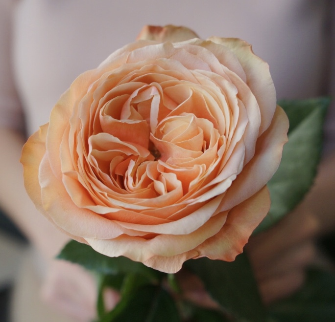 Роза Kahala пионовидная