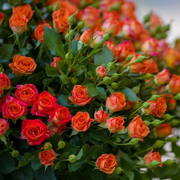 Кустовая роза Baby (оранжевая)
