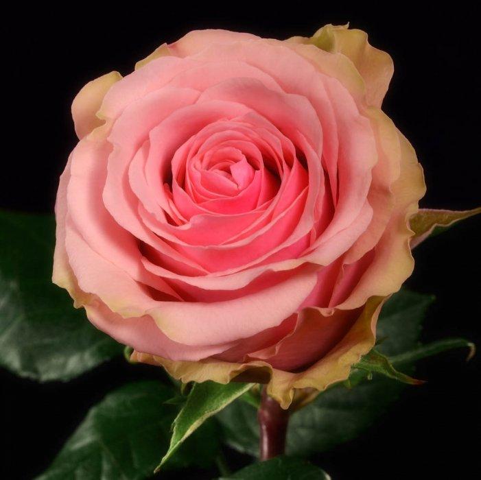 Роза Geraldine